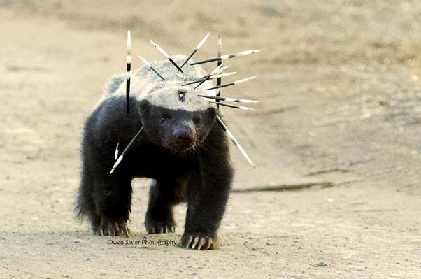 """原创 我叫蜜獾,你们人类给我的外号叫""""平头哥"""",我的战绩自己都怕"""