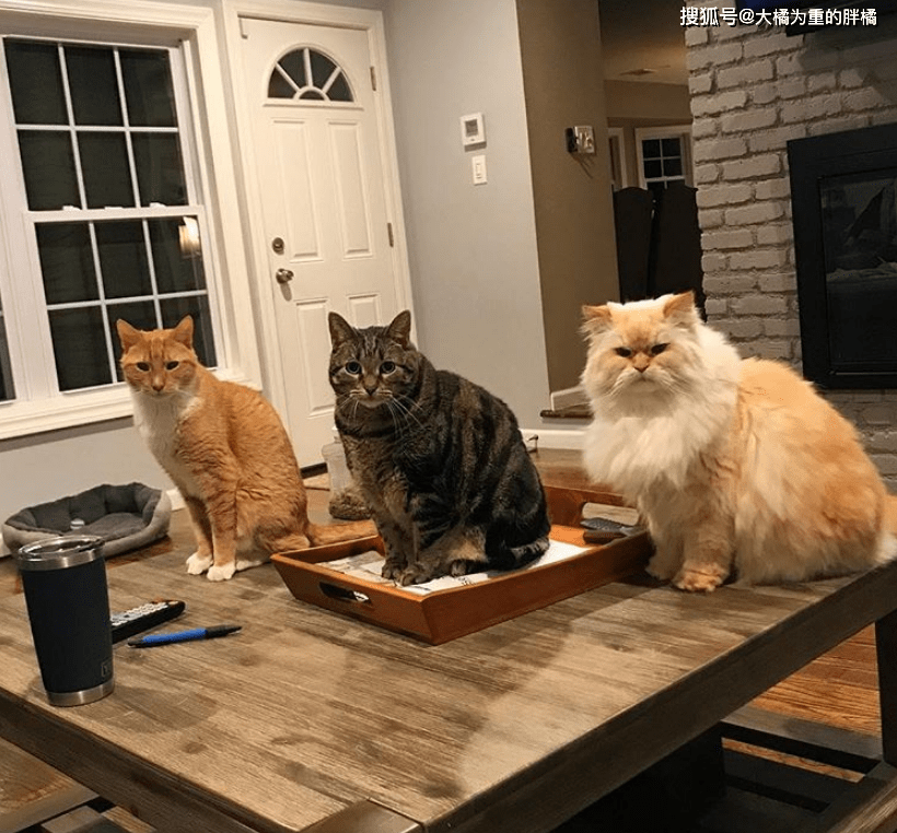 """「布雷克」一唱一和要零食,橘猫会作揖,大猫更聪明,两只猫咪""""懂礼貌"""""""