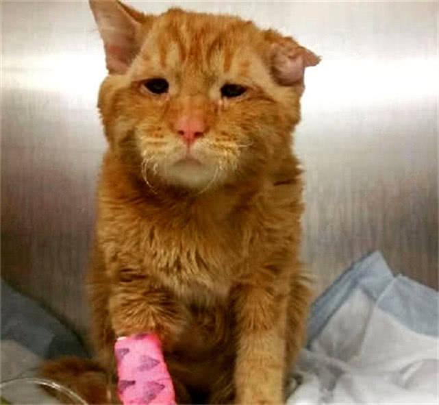 原创 橘猫打架被咬到一只耳朵,两眼无神令人心痛,女孩做法暖人心
