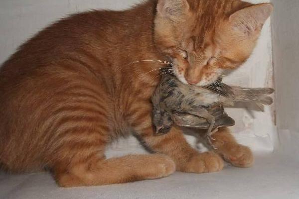 原创 猫咪最喜欢的吃什么?第一并不是小鱼干,麻雀才是猫的最爱!