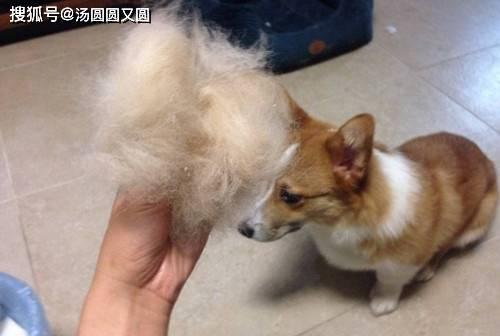 「柯基」【个人养狗经验分享】柯基犬吃什么狗粮不大脱毛,