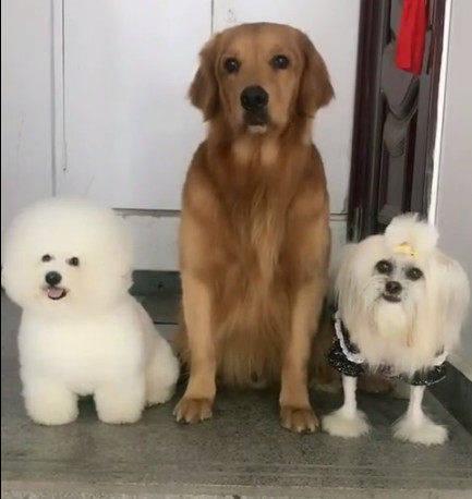 原创 三只狗狗站门口等着主人带它们出门,金毛:女人出门真贫苦!