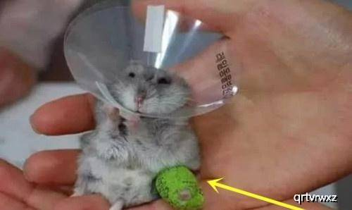 原创 仓鼠右腿摔骨折,医生破费2小时为它打石膏:李时珍的皮