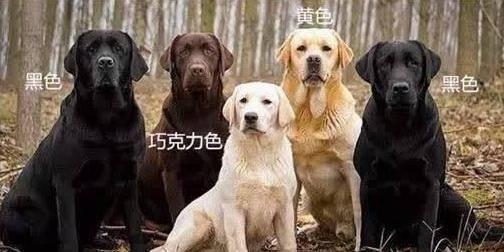 """原创 拉布拉多纯不纯,要害照样这5个地方,你可能买到""""假狗""""了"""