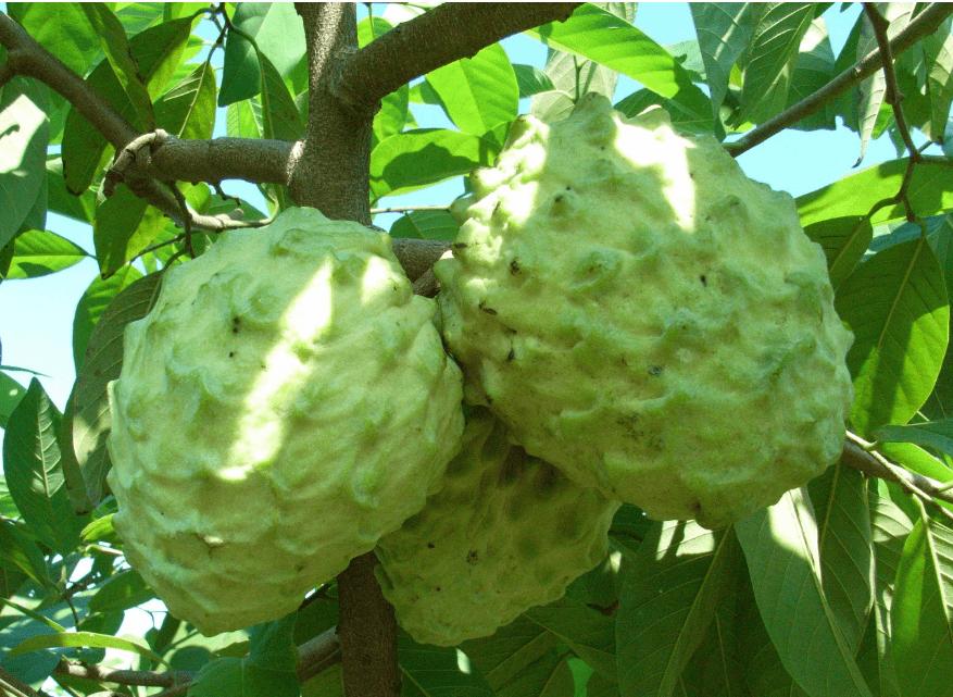 泰国对中国的水果出口同比增长152%。 泰