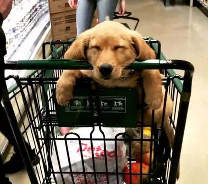 原创 狗狗不愿跟主人去逛街,效果被迫带出了们,看到了局忍不住笑了