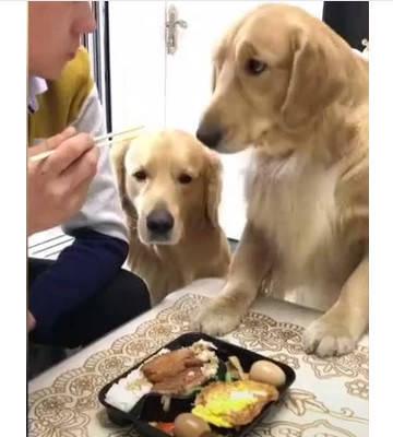 原创 主人夹着香肠刚吃到嘴里,金毛就跳上桌来抢,抢完之后却悔恨了!