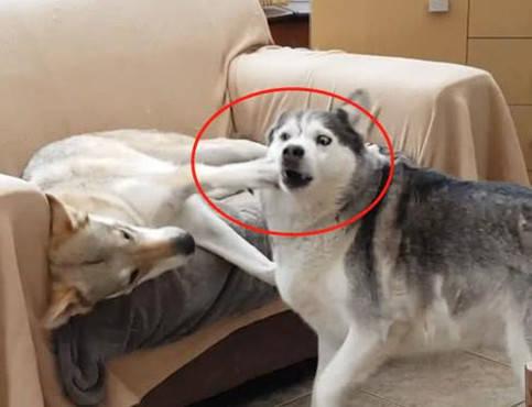 原创 狼犬抢占沙发的位置,二哈看后戏竟云云多,妒忌的样子引人爆笑