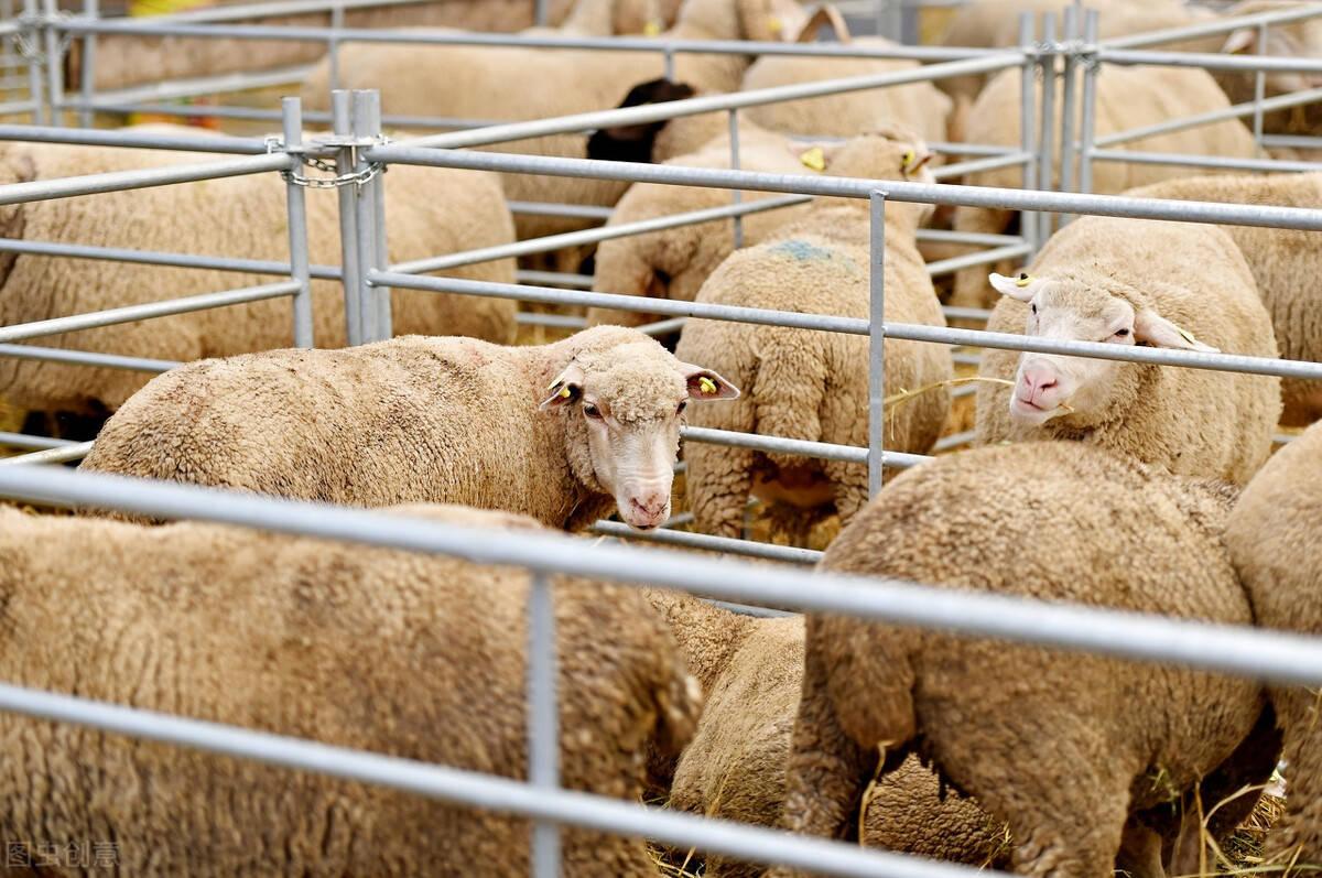 肉羊杂交改良,这些育种、育肥细节你不可不知道