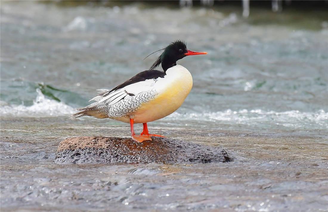 秋沙鸭防同类来抢崽,就在树洞生育,小鸭一出生就要从10米高跳下