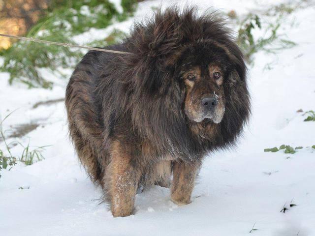 流浪藏獒如果出现在非洲草原,是如王者降临,还是会被狮子捕杀?