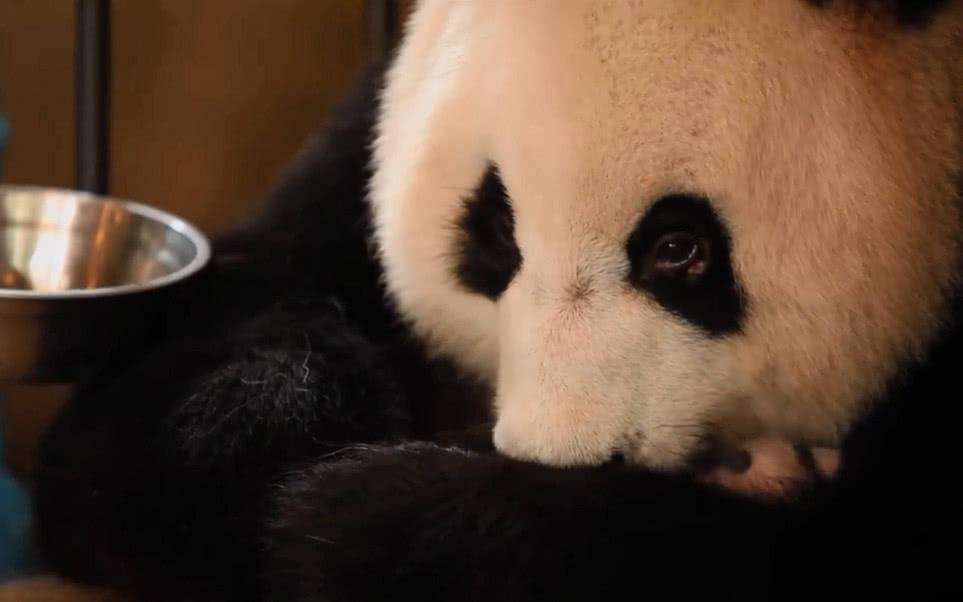 别看熊猫萌萌的可是护起崽来也是很凶
