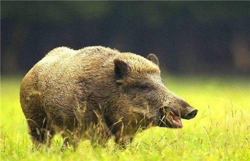 美国野猪泛滥成灾,为何宁愿损失10亿美元也不直接吃掉?理由有三: