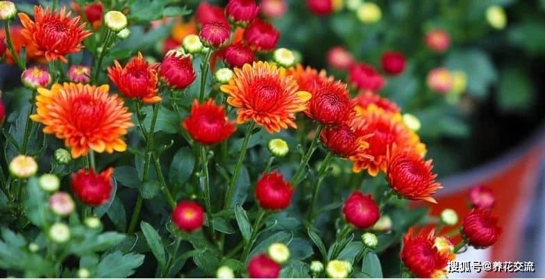秋季养菊花的几个技巧 买几根牙签苗 很