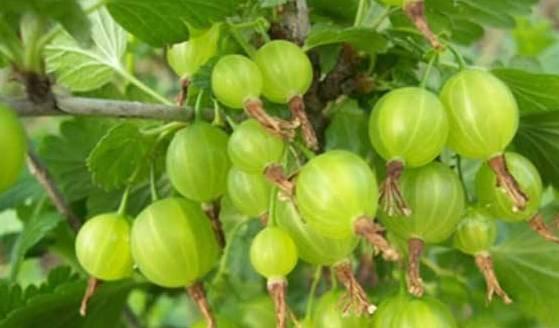 它被称为贵族水果,女性多吃它,养血又养颜