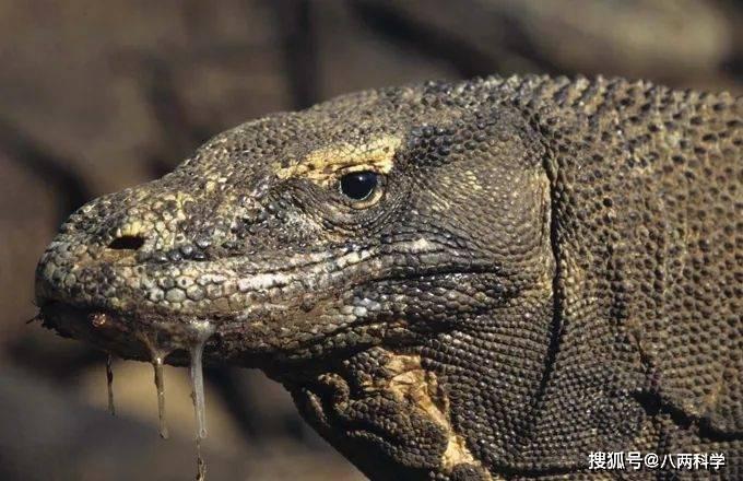科莫多巨蜥的唾液有毒?靠毒液捕猎?科莫多巨蜥的迷与思!(图2)