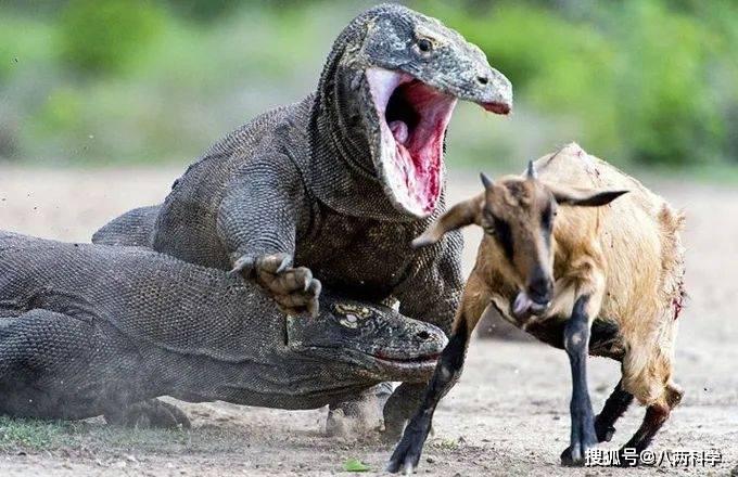 科莫多巨蜥的唾液有毒?靠毒液捕猎?科莫多巨蜥的迷与思!(图10)