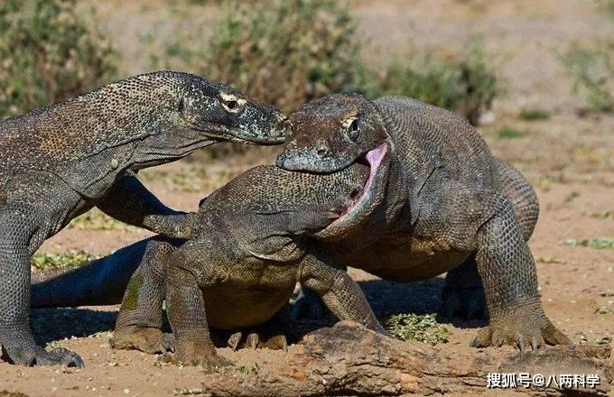 科莫多巨蜥的唾液有毒?靠毒液捕猎?科莫多巨蜥的迷与思!(图6)