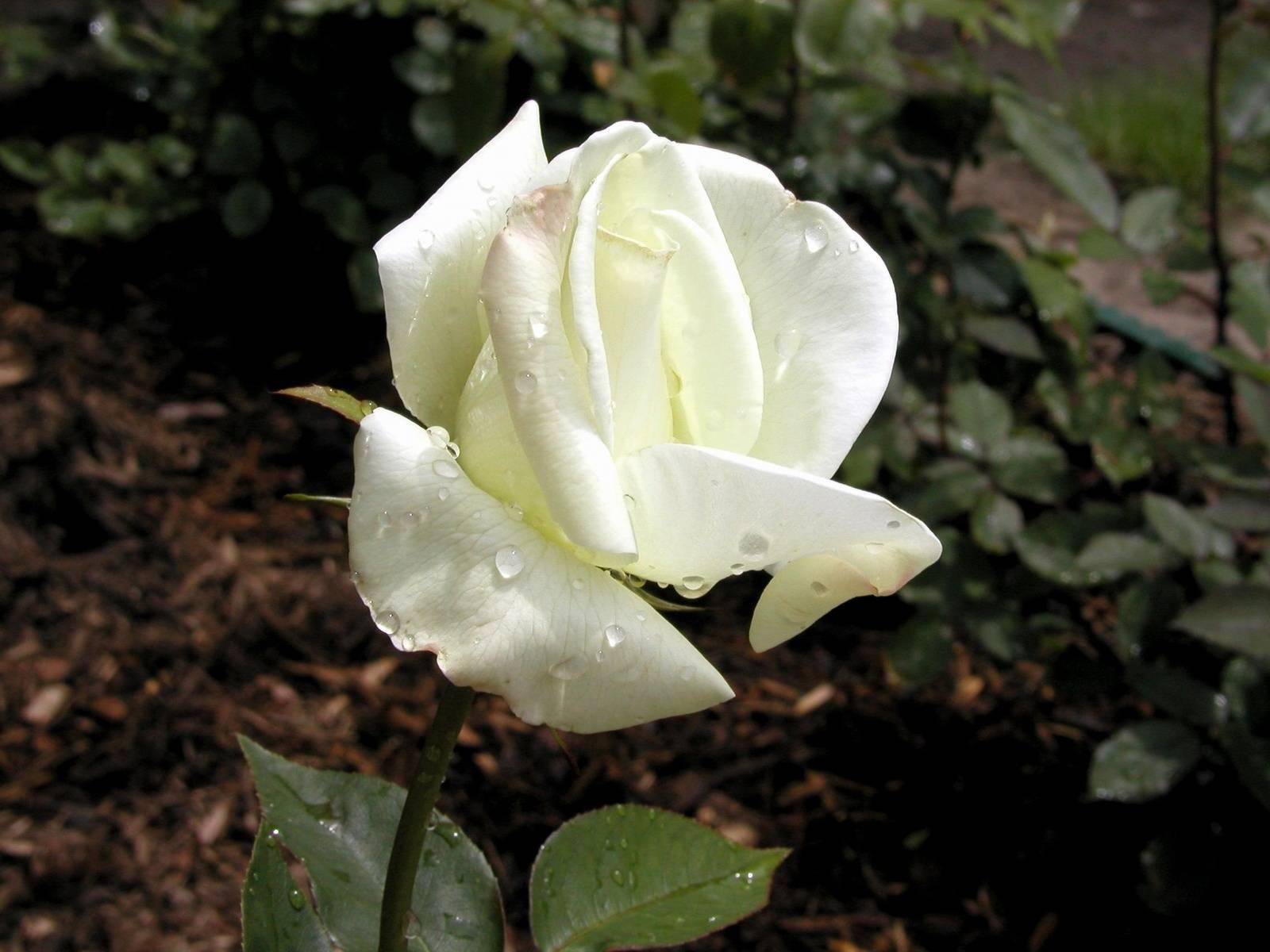 玫瑰痤疮图片