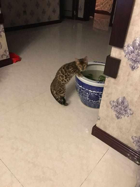 去花鸟市场,两万六元买只豹猫,喂养一周后,我们的幸福就开始了