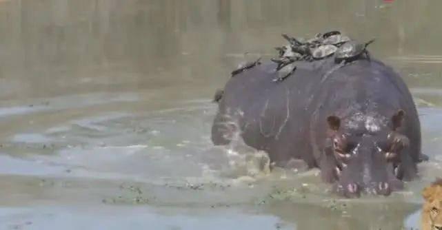 河马背上30只老龟晒太阳,河马被吓坏,连滚带爬上岸!