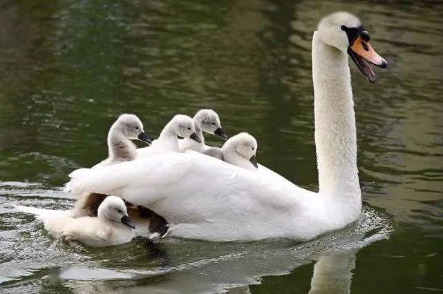 法一对天鹅带十几只幼崽学游泳,小天鹅累了,还爬上天鹅背搭便车,异常有爱