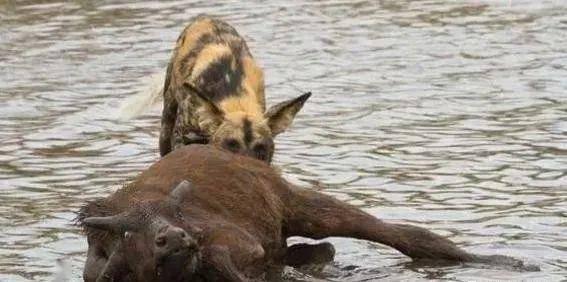 心酸,野牛居然自动配合野狗让其锁喉,是什么让野牛失去了信心