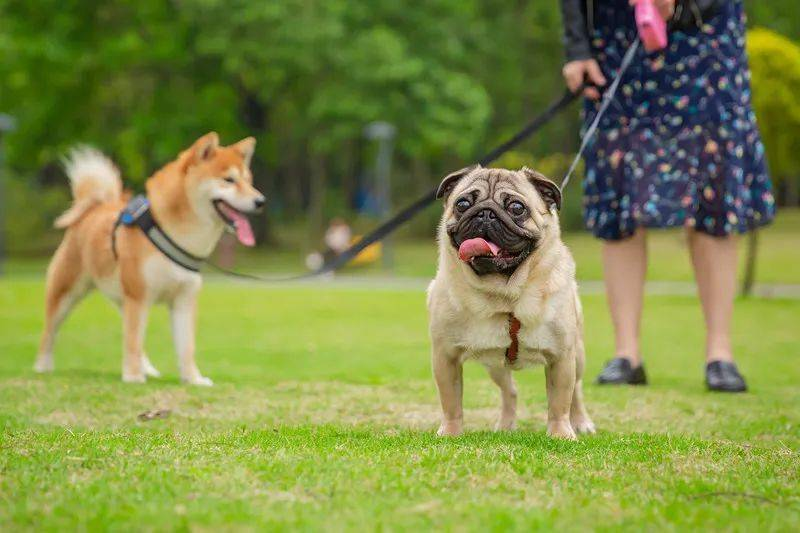 这6种狗在佛山可以养!佛山市禁养烈性犬名录敲定了