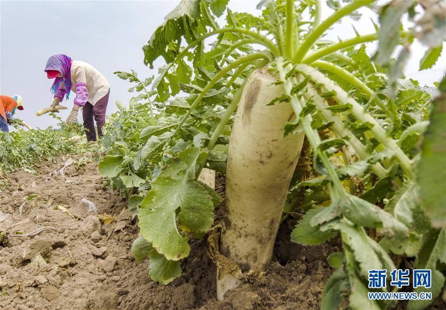 河北曹妃甸:订单白萝卜种植助增收