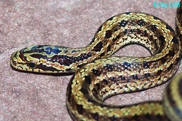 【从零开始养】白条锦蛇基础饲养指南 (图3)