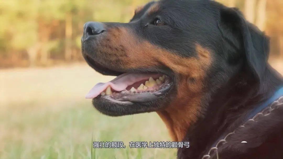 top   美国恶霸犬图片