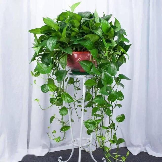 韭兰养殖韭兰的心得及修剪方法!的养殖方法