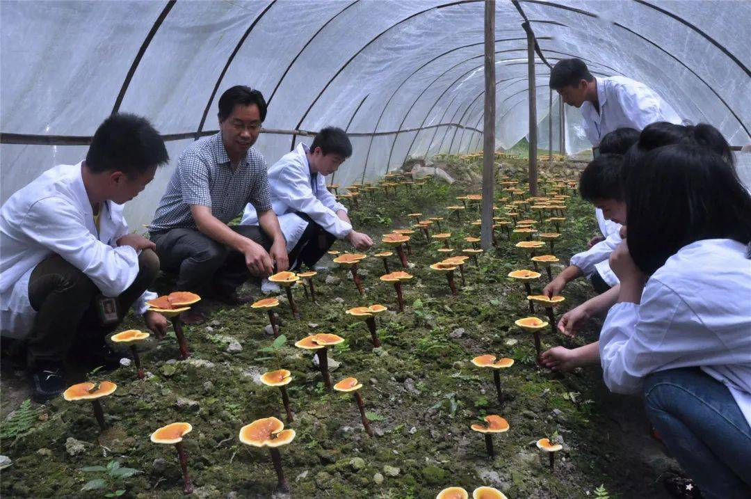 叶长文:食用菌技术大师
