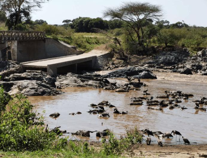 角马 超过300匹角马在渡过肯尼亚马拉河时被踩踏致死