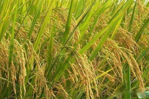 自从水稻在原阳中广泛种植以来,只有几