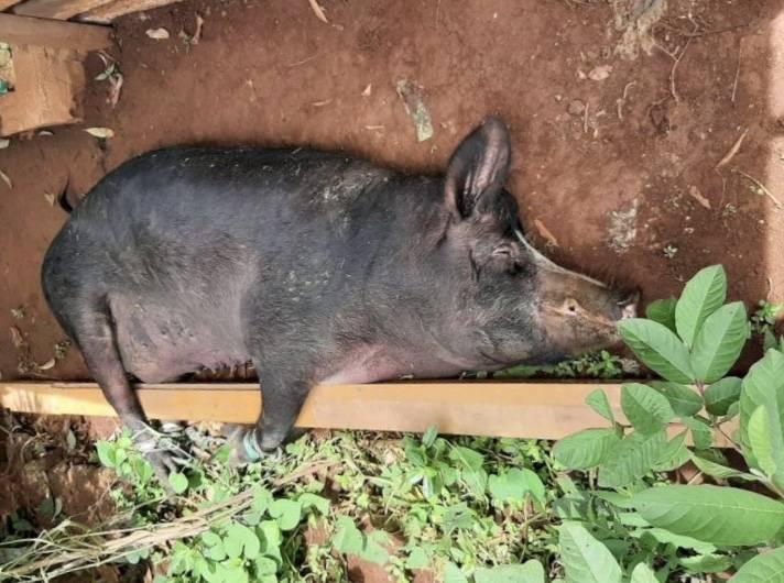 缅甸北部掸邦克钦邦等地出现猪瘟疫情