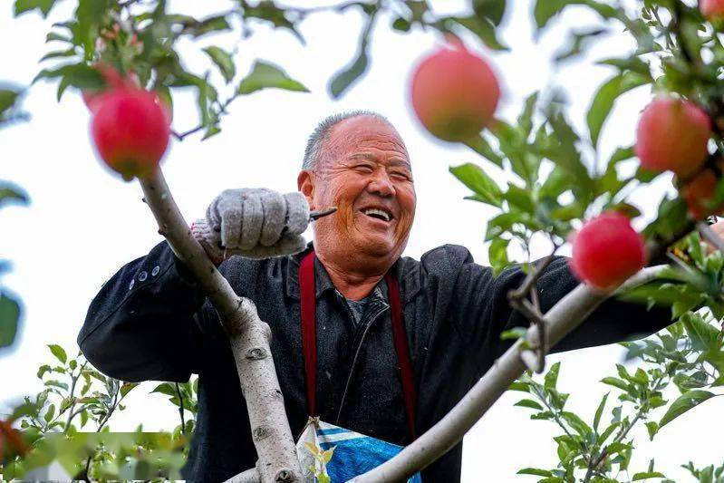万荣苹果啥滋味?一个种了35年果树的农村报告你