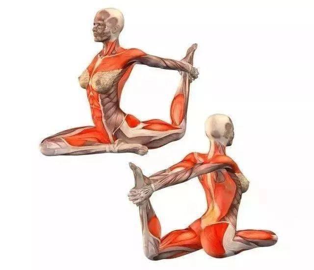你知道这些瑜伽体式练的是哪里吗?20个解剖图告诉你!
