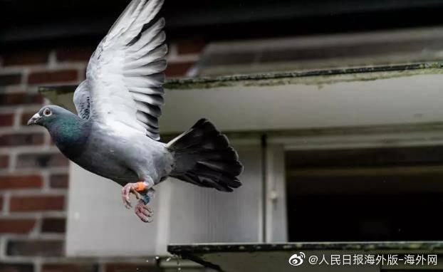 百事3注册天价纪录!神秘中国买家160万欧元拍下比利时赛鸽