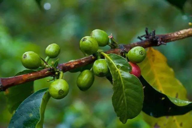 几个小众咖啡产地的咖啡,你了解吗 博主推荐 第6张