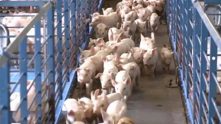 赞!农业农村部肯定浙江生猪生产