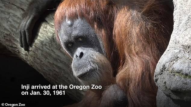 """世界最长寿猩猩英吉在美俄勒冈动物园""""安乐死"""",享年61岁"""