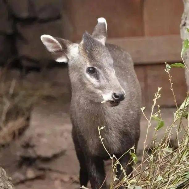 奶凶奶凶的!杭州动物园青面獠牙的小萌萌在寒潮中胜出,一点不怕冷