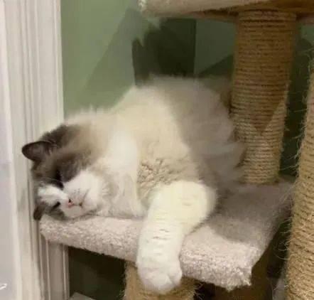 邻居搬家却随意遗弃猫咪,布偶猫随机求救,意外让自己找到一个很棒的家