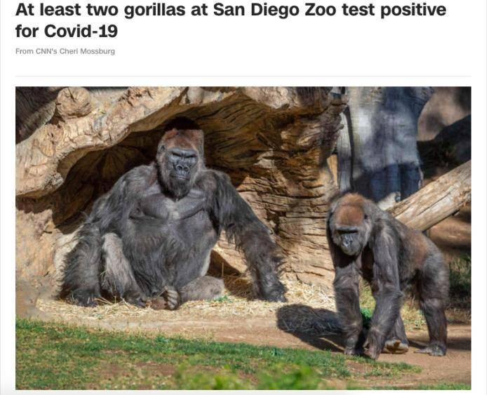 外媒:美国一动物园至少2头大猩猩感染新冠病毒