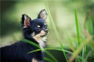小型犬的品种及图片(小型犬狗品种大全)