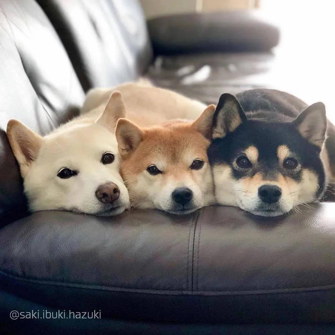 一只小奶喵和它的三只柴犬保镖,简直就是高甜偶像剧!