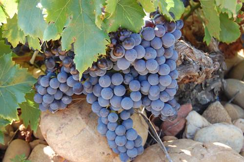 歌海娜葡萄品种