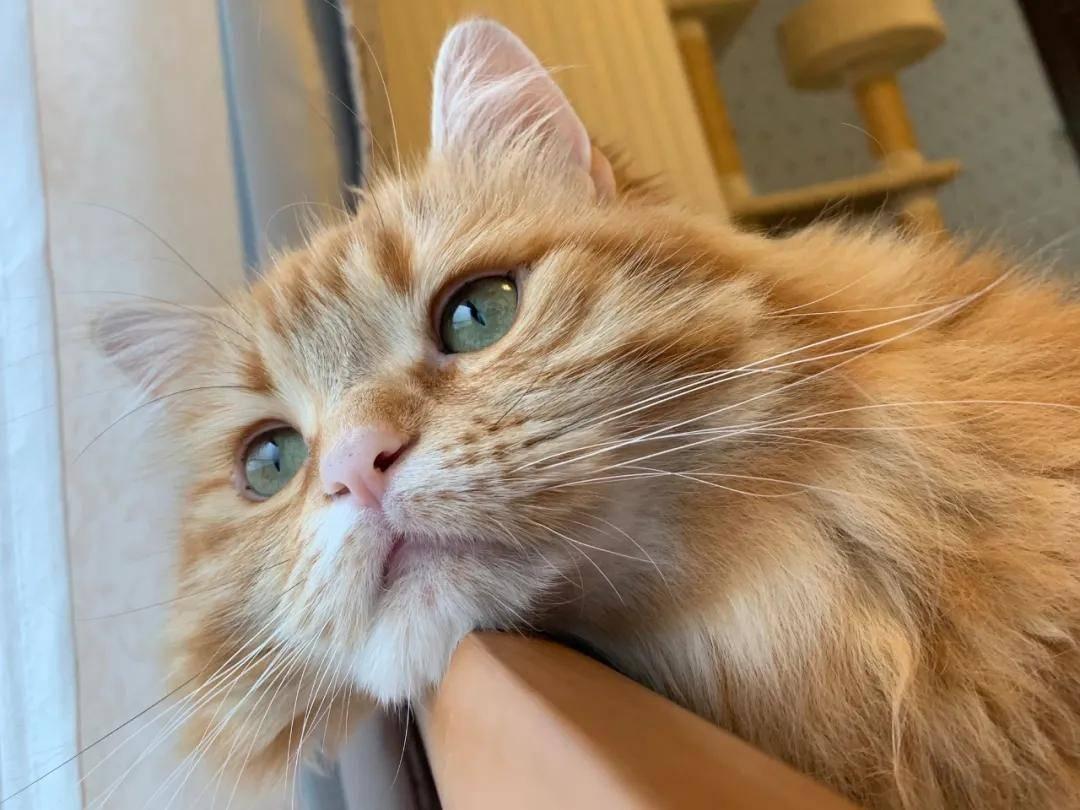 这只猫的大双眼皮子,我竟然看了整整一天