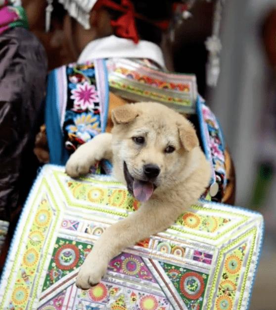"""原来苗族人是这样宠狗的!为狗狗专门成立了一个""""背狗节"""""""